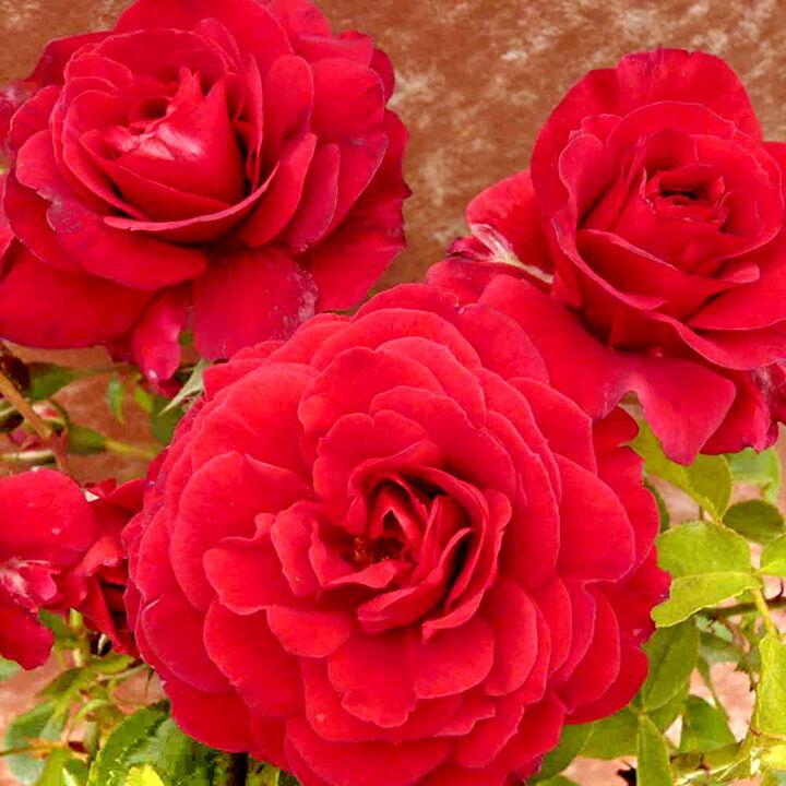 повторноцветущие розы фото