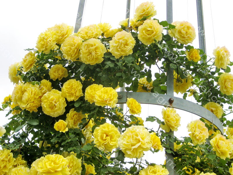 Римоза плетистая роза