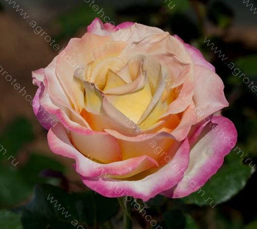Rose garden  7533  535a  5b98  65b9  7f51  7ad9  767b  5165
