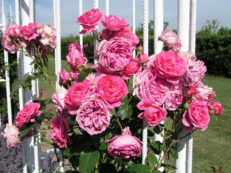 Роза плетистая пинк клауд
