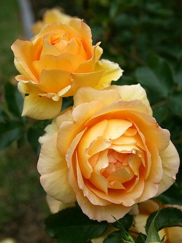 Тэги:саженцы роз почтой купить саженцы роз розоводческое