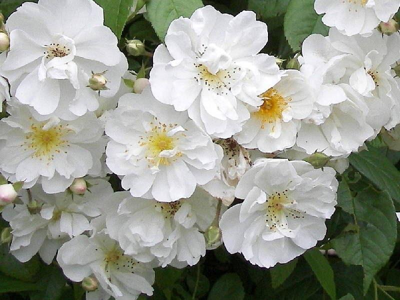 Розы плетистые бобби джеймс купить заказ цветов день день